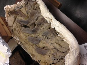 Dino bones brought back from Salt Lake.